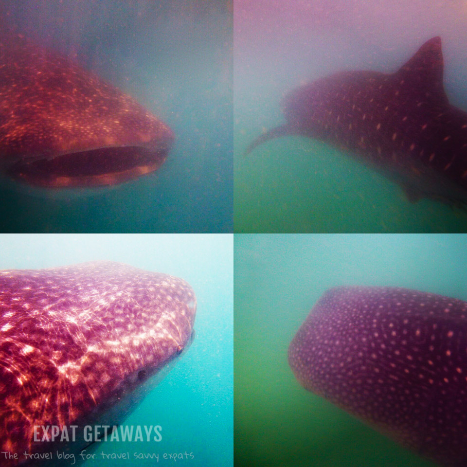 Snorkelling with whale sharks on Ticao Island