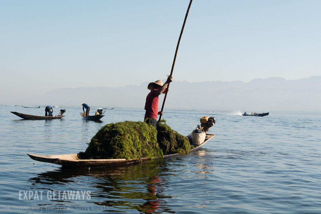 A fisherman on Inle Lake collecting seaweed for his fish farm.