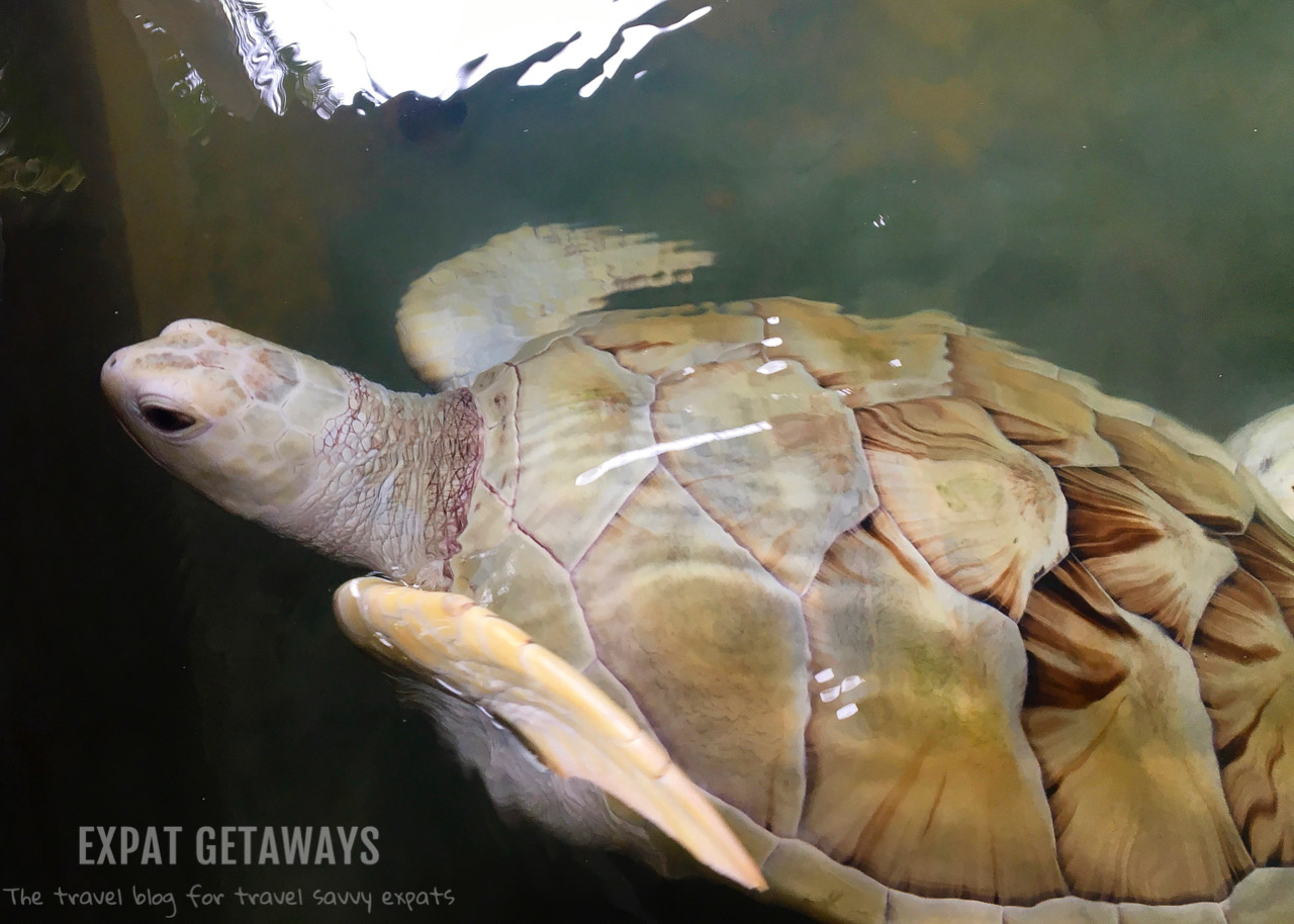 One in a million! An albino green sea turtle that had been raised in captivity.