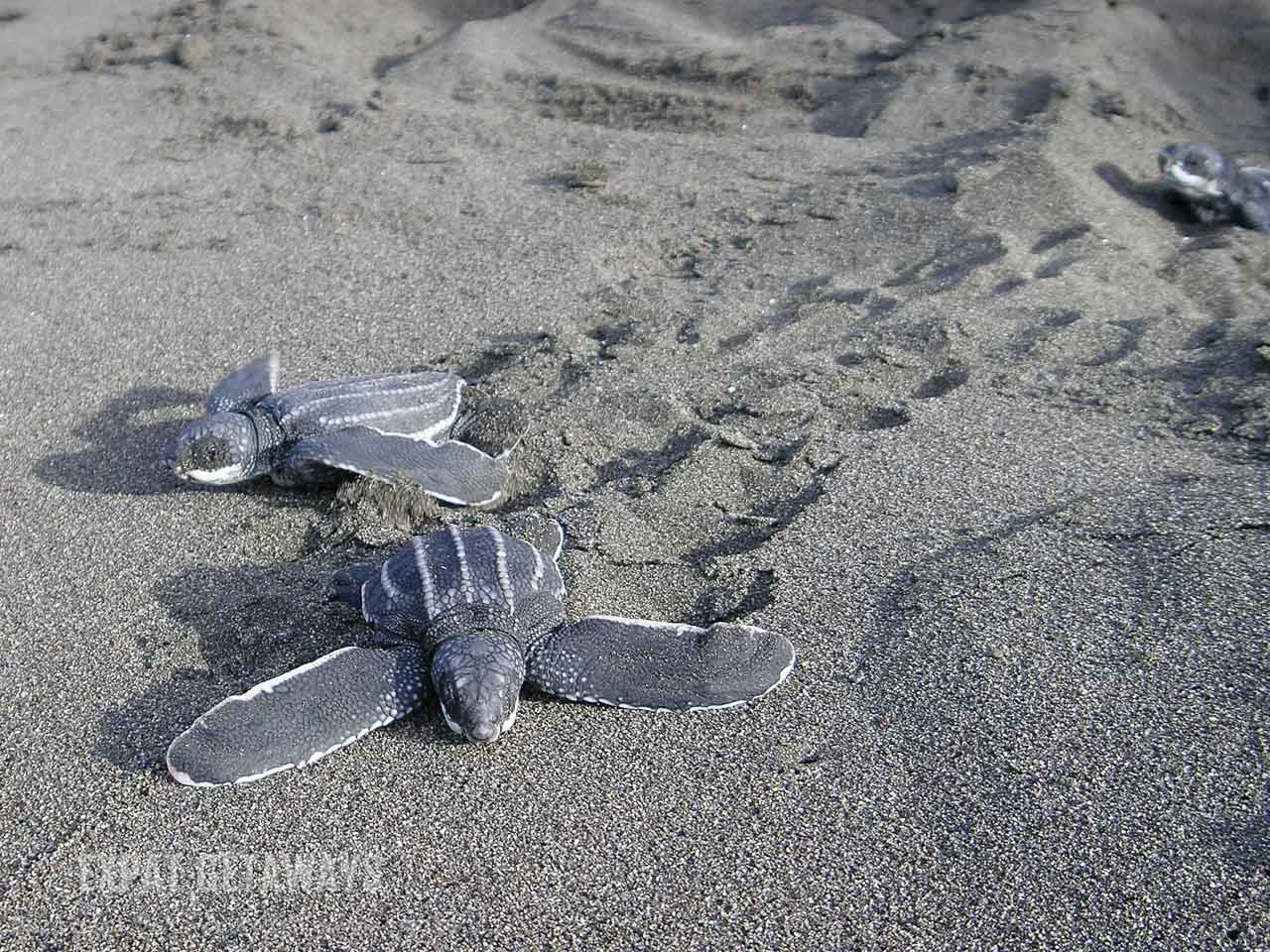 A baby leatherback sea turtle makes its way across the sand to the sea. La Tortuga Feliz, Costa Rica.