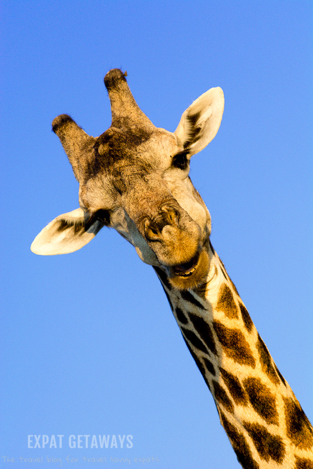 Giraffes are gentle giants and seen all over Chobe National Park, Botswana. Expat Getaways 2 Weeks in Southern Africa.