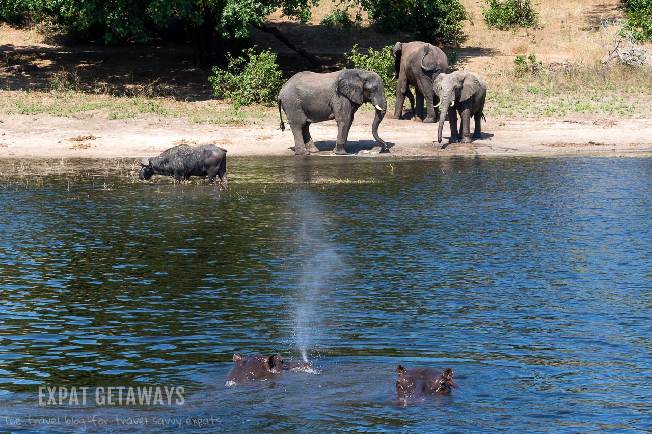 One of my favourite moments of our Chobe River cruise in Botswana was spotting elephants and buffalo on the banks. Just as we were lining up photos, up came a hippo! Expat Getaways 2 Weeks in Southern Africa.