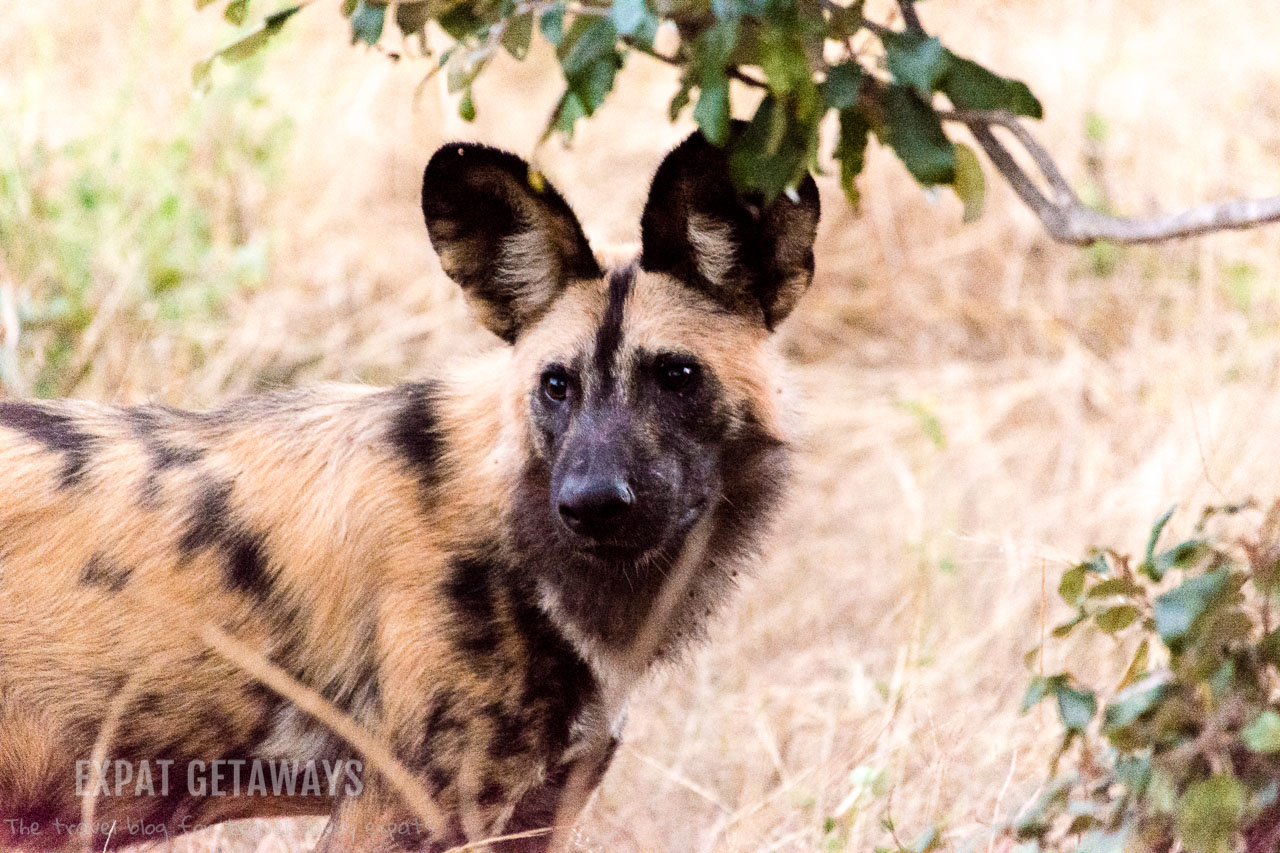 Spotting a pack of the highly endangered African wild dog was a highlight of our game drive in Chobe National Park, Botswana. Expat Getaways 2 Weeks in Southern Africa.