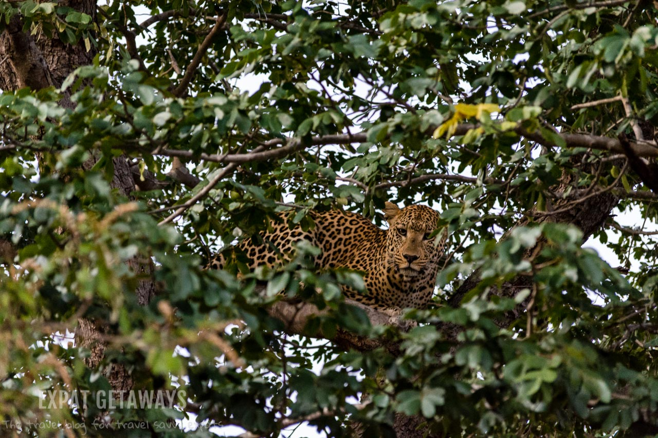 In Chobe National Park, Botswana anything is possible. On an early morning game drive we saw this leopard in a tree hiding from a pack of African wild dogs! Expat Getaways 2 Weeks in Southern Africa.