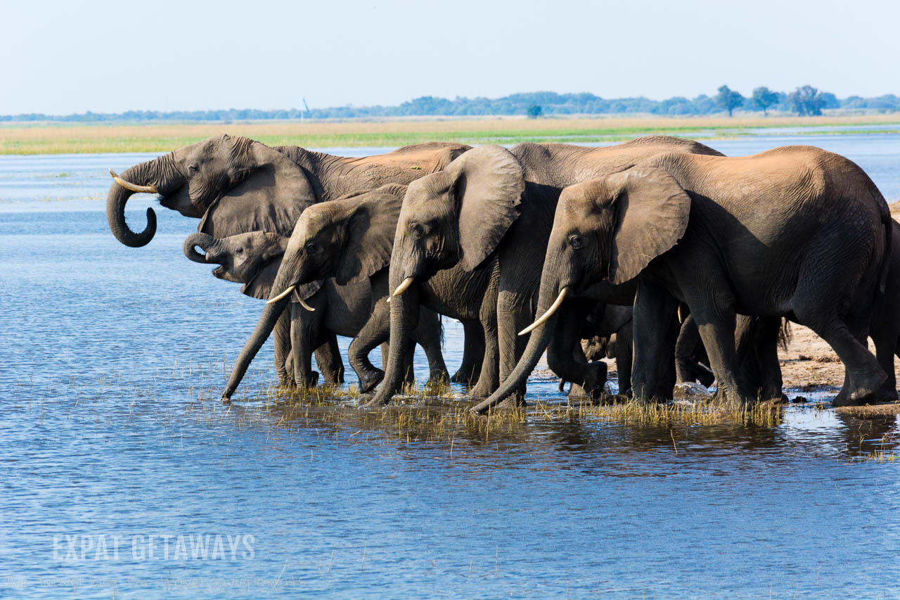 Wow! A huge herd of elephants wandering down to the Chobe River, Botswana in the late afternoon for a drink and a play. Expat Getaways 2 Weeks in Southern Africa.
