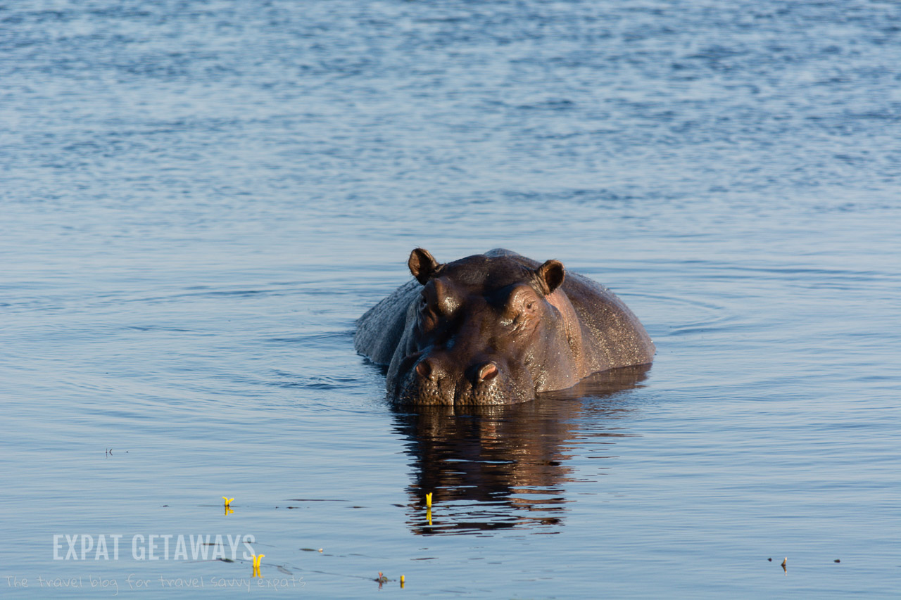 We were promised hippos and weren't disappointed! There were so many packed into the waters of the Zambezi, Chobe and Okavango Rivers. Expat Getaways 2 weeks in Southern Africa.