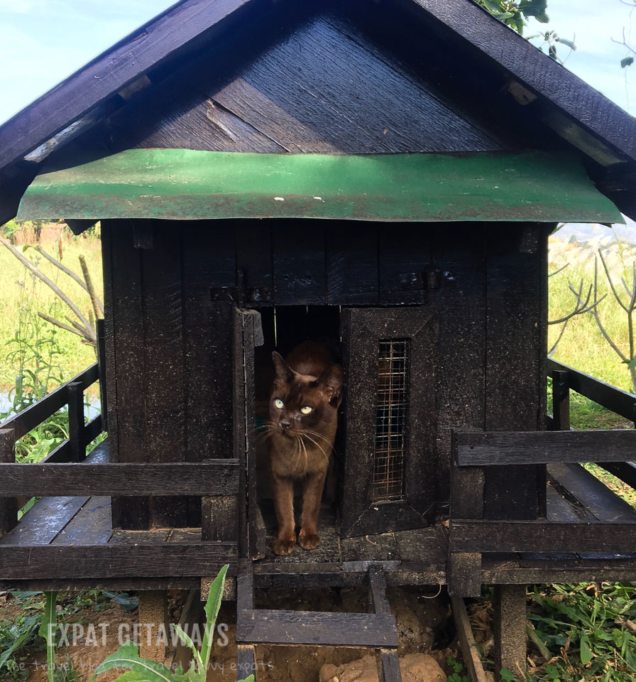 The Burmese cats have run of the island at Inle Heritage. Inle Lake, Myanmar.