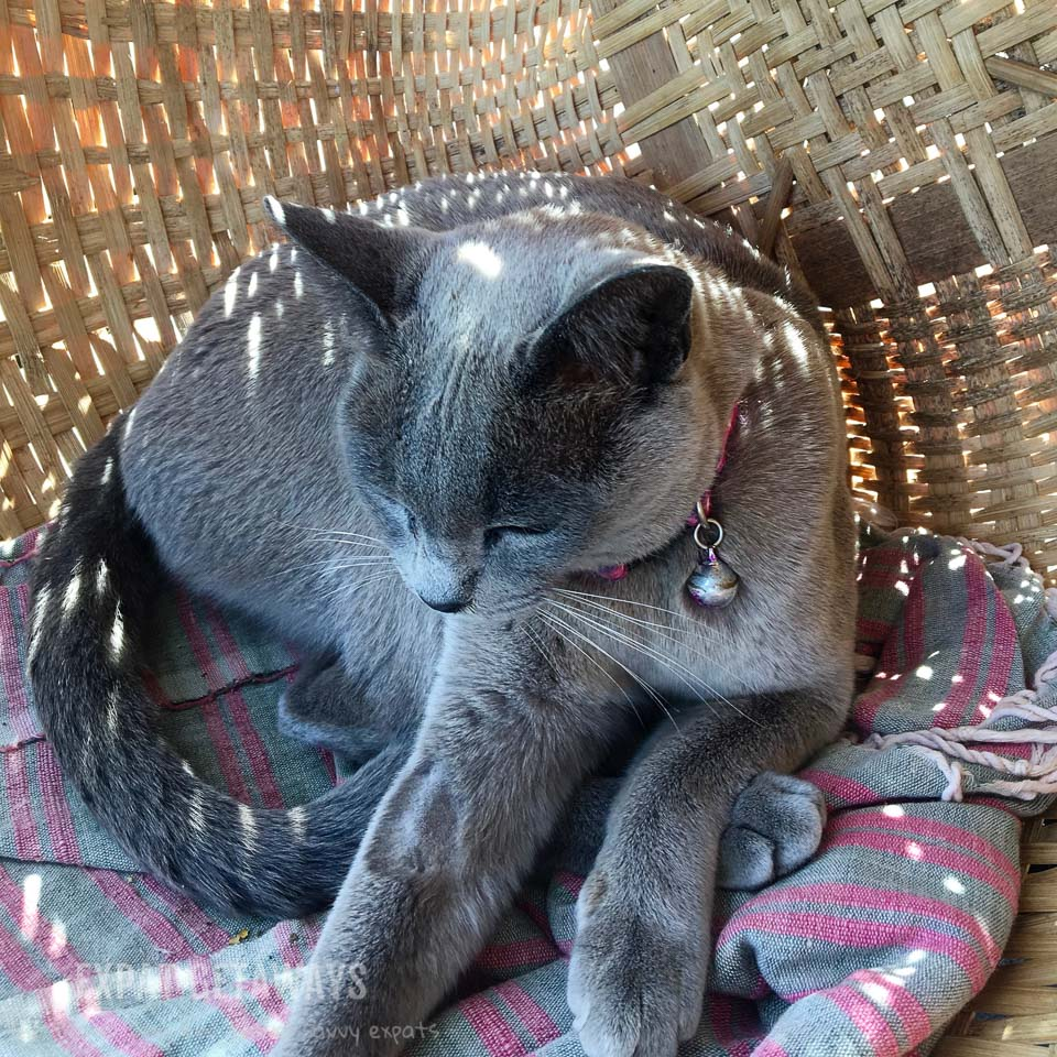 At Inle Lake you can visit a breeder of beautiful Burmese cats. Inle Lake, Myanmar.