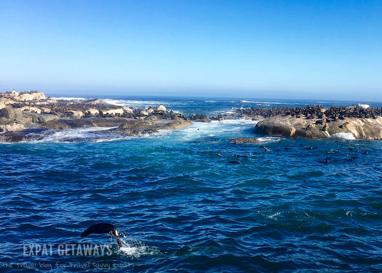 A quick trip out to Seal Island is well worth it during your visit to Hout Bay and the Cape of Good Hope. Can you spot the jumping seal? Expat Getaways One Week in Cape Town, South Africa.