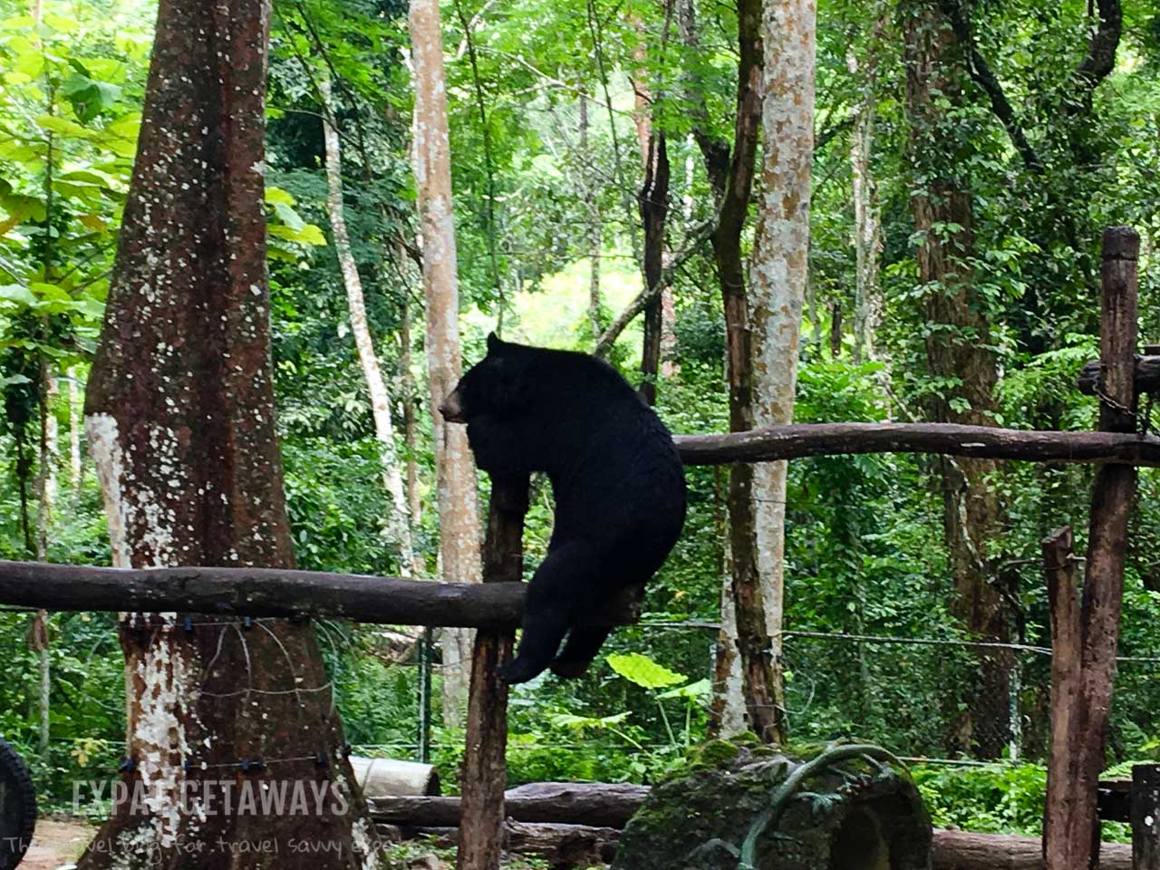 Visit the rescued bears at Tat Kuang Si Bear Rescue Centre. Luang Prabang, Laos. Expat Getaways, 48 Hours in Luang Prabang, Laos.